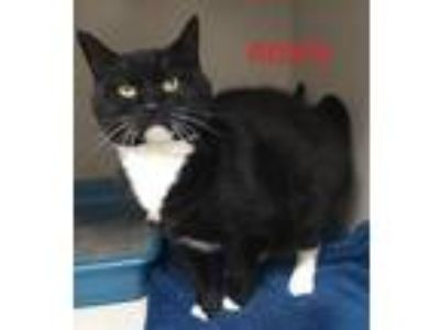 Adopt Roxy a Domestic Short Hair