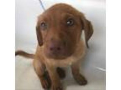 Adopt LILA a Labrador Retriever, Catahoula Leopard Dog