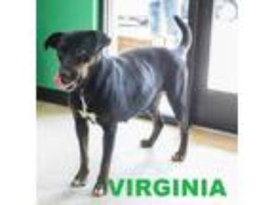 Adopt VIRGINIA a Black Labrador Retriever / Mixed dog in Franklin, NC (18607838)
