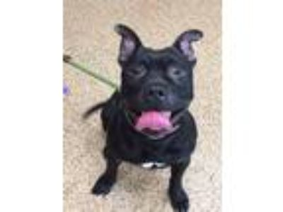 Adopt ACE a Black Pit Bull Terrier / American Pit Bull Terrier / Mixed dog in