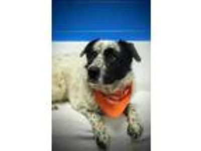 Adopt Tron a White Great Pyrenees / Australian Cattle Dog / Mixed dog in Clay