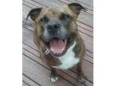 Adopt Tygress- Courtesy Listing a Pit Bull Terrier, Mastiff