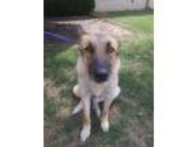 Adopt Shiloh a Brown/Chocolate Shepherd (Unknown Type) / Mixed dog in Cedar
