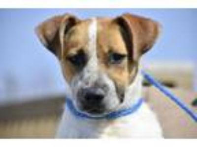 Adopt Samantha a Australian Cattle Dog / Blue Heeler, Mixed Breed