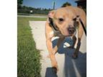 Adopt 42202288 a Tan/Yellow/Fawn American Pit Bull Terrier / Mixed dog in New