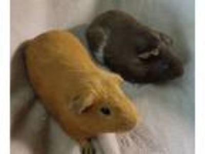 Adopt Clifford and Mr. Marple a Guinea Pig