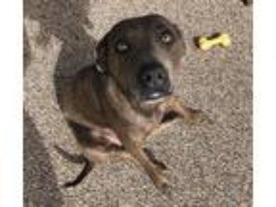 Adopt Teena (T litter mom) a American Staffordshire Terrier dog in Wenonah