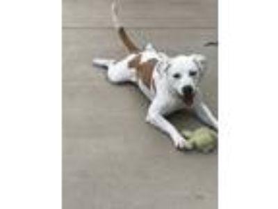 Adopt Bleu a Pit Bull Terrier