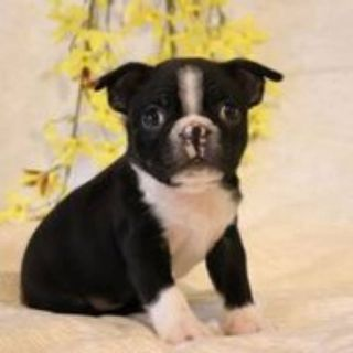 Max male Boston Terrier AKC