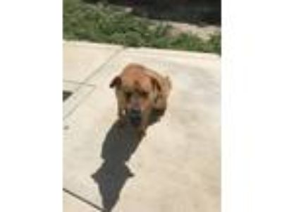 Adopt Rocco a Red/Golden/Orange/Chestnut Labrador Retriever / Chow Chow / Mixed