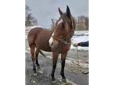 Adopt ROYAL a Bay Thoroughbred / Mixed horse in Methuen, MA (23907595)