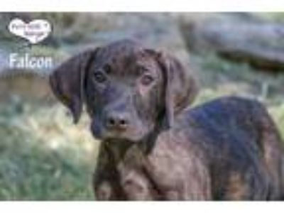 Adopt Falcon a Brown/Chocolate Setter (Unknown Type) / Great Dane / Mixed dog in