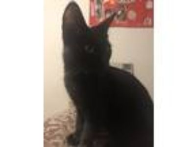 Adopt Ayana a All Black American Shorthair cat in Houston, TX (25888430)