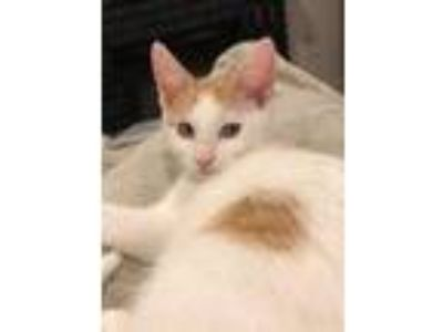 Adopt Hudson - In Foster a Domestic Short Hair