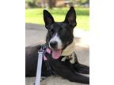 Adopt Lulu a Black - with White Border Collie dog in Norristown, PA (25102785)