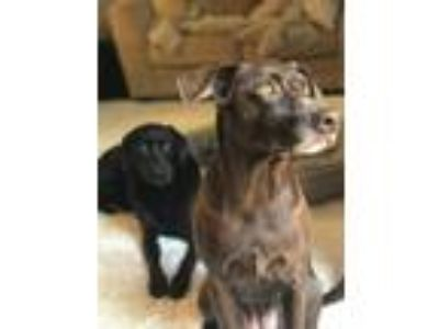 Adopt Layla a Brown/Chocolate Labrador Retriever / Beagle dog in Dumfries