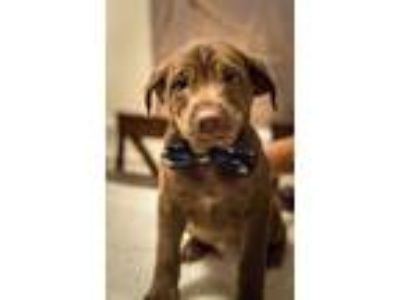 Adopt Oak JW a Brown/Chocolate Dachshund / Labrador Retriever / Mixed dog in