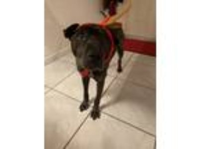 Adopt Dulce a Black Shar Pei / Xoloitzcuintle/Mexican Hairless / Mixed dog in