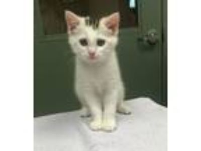 Adopt SUN FLOWER a Domestic Short Hair