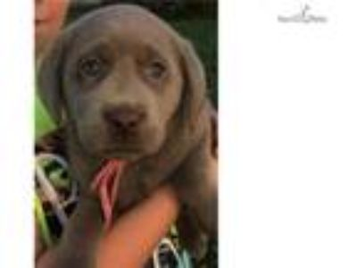 Beautiful Silver Labrador Puppy Available**