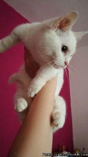 Short Haired, White, Female Munchkin Kitten