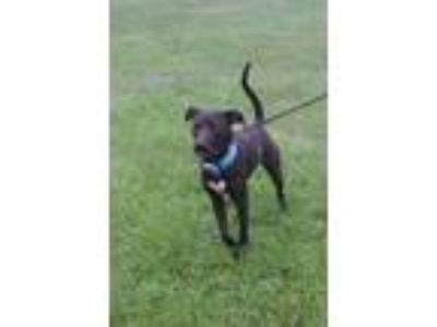 Adopt Woody a Black Labrador Retriever