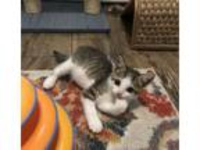 Adopt Chip a Tabby