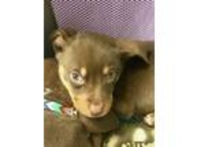 Adopt Lab Blend Puppies a Labrador Retriever, Mixed Breed