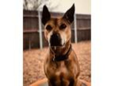 Adopt Keira a Tan/Yellow/Fawn Pit Bull Terrier / Mixed dog in Oklahoma City