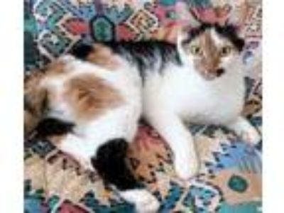 Adopt Porsche a Domestic Short Hair
