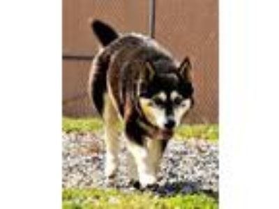 Adopt Echo a Alaskan Malamute, Feist