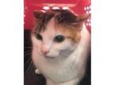 Adopt Speck a White Domestic Shorthair / Domestic Shorthair / Mixed cat in Fort