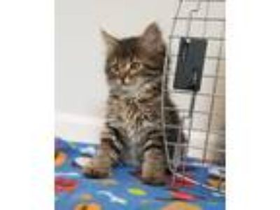 Adopt Ozbourne *No Longer Accepting Applications* a Maine Coon