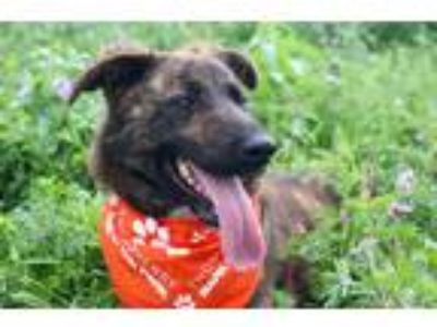 Adopt Tiger JuM a Brindle Dutch Shepherd / Shepherd (Unknown Type) / Mixed dog