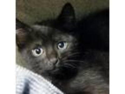 Adopt Eeny a All Black Domestic Shorthair / Domestic Shorthair / Mixed cat in