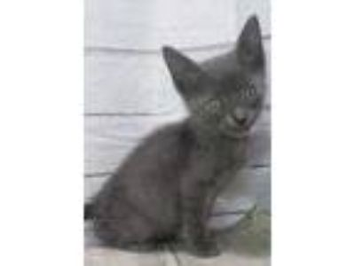 Adopt Tristin a Gray or Blue Domestic Shorthair / Domestic Shorthair / Mixed cat