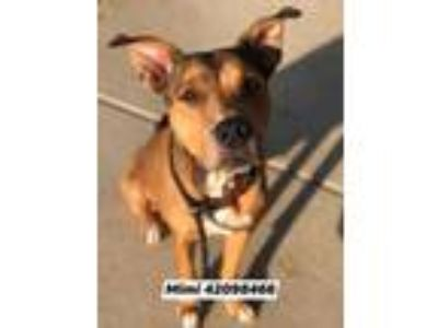 Adopt Mimi a Brown/Chocolate American Pit Bull Terrier / Mixed dog in Fort