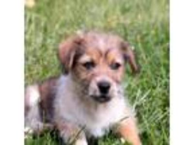 Adopt PUPPY CHELSEA a Tricolor (Tan/Brown & Black & White) Border Terrier /