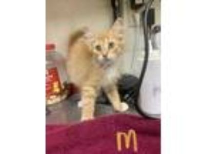 Adopt Bishop a Orange or Red American Shorthair / Domestic Shorthair / Mixed cat