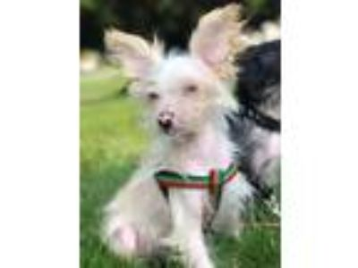 Adopt Julius a Chinese Crested Dog
