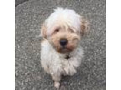 Adopt Reed a White Tibetan Terrier dog in West New York, NJ (25586252)