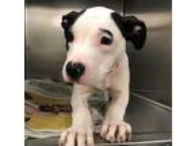 Adopt Natasha a White - with Black American Pit Bull Terrier / Mixed dog in