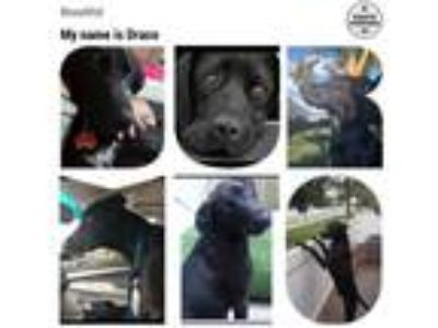 Adopt Draco a Black - with Tan, Yellow or Fawn Labrador Retriever / Mixed dog in