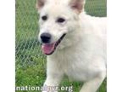 Adopt Marcus in MO a White Great Pyrenees / Anatolian Shepherd / Mixed dog in