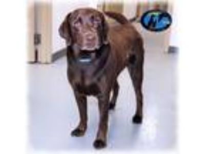 Adopt Hershel a Brown/Chocolate Labrador Retriever / Mixed dog in Howell