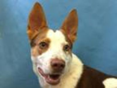 Adopt Dame a Catahoula Leopard Dog, Mixed Breed