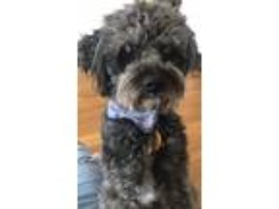 Adopt Capo a Black Schnauzer (Standard) / Poodle (Standard) / Mixed dog in North