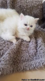 5 Pure White Persian Kittens And 1 Blue Persian
