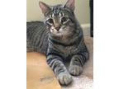 Adopt Schipp a Brown Tabby Bengal (short coat) cat in Frankfort, IL (25472303)