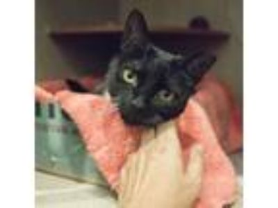 Adopt Birdie a All Black Domestic Shorthair / Domestic Shorthair / Mixed cat in